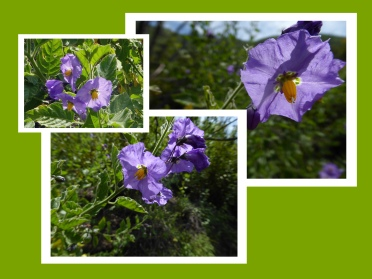Purple Nightshade Mosaic copy