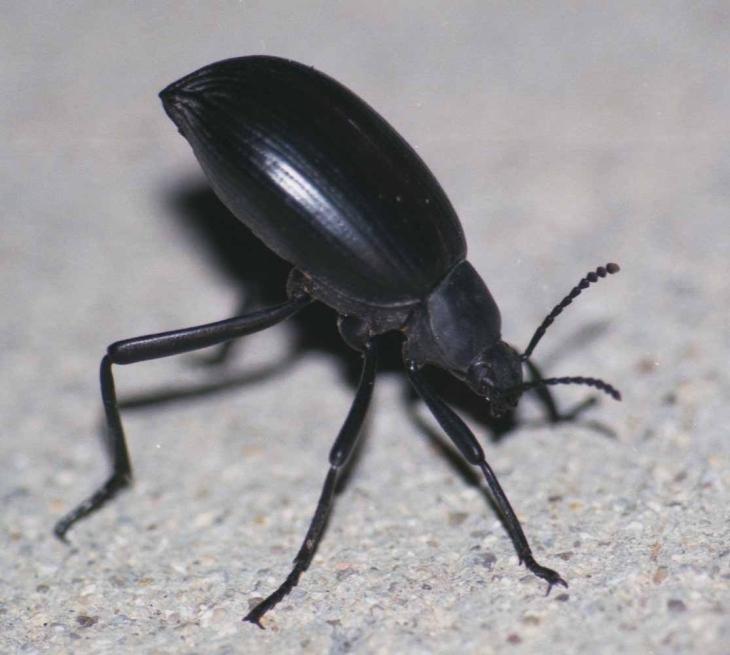 Stink Beetle Google
