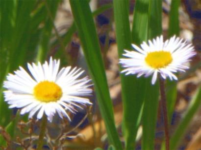 White Daisies_P1020152