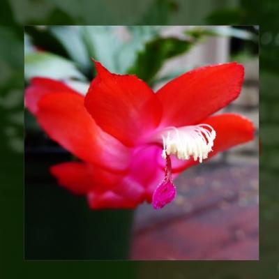 68-christmas-cactus-p1040971